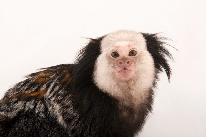 A Geoffroy's tufted-ear marmoset (Callithrix geoffroyi) at the Cleveland Metroparks Zoo.