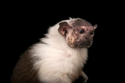 An endangered (IUCN) and federally endangered pied tamarin (Saguinus bicolor) at the Cleveland Metroparks Zoo.