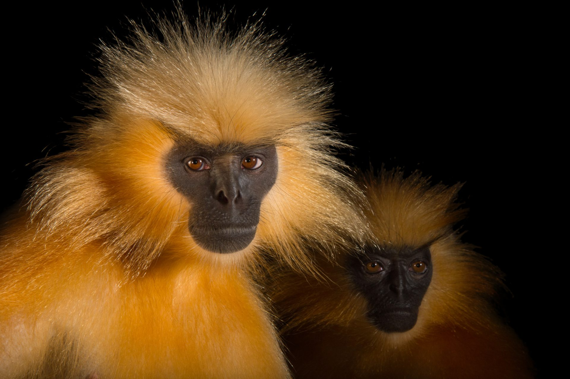 Picture of endangered (IUCN) and federally endangered Gee's golden langurs (Trachypithecus geei) at the Assam State Zoo cum Botanical Garden in India.