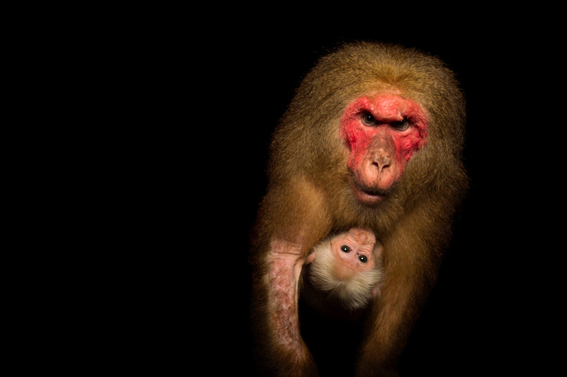 Photo: Stump-tailed macaque (Macaca arctoides) mother and baby, at the Assam State Zoo cum Botanical Garden in India.