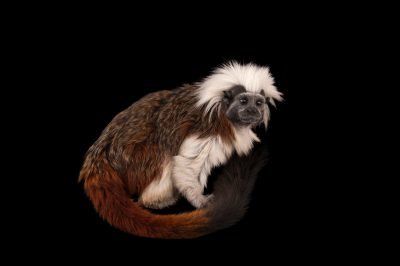 An endangered cotton-top tamarin (Saguinus oedipus) at the Miller Park Zoo.