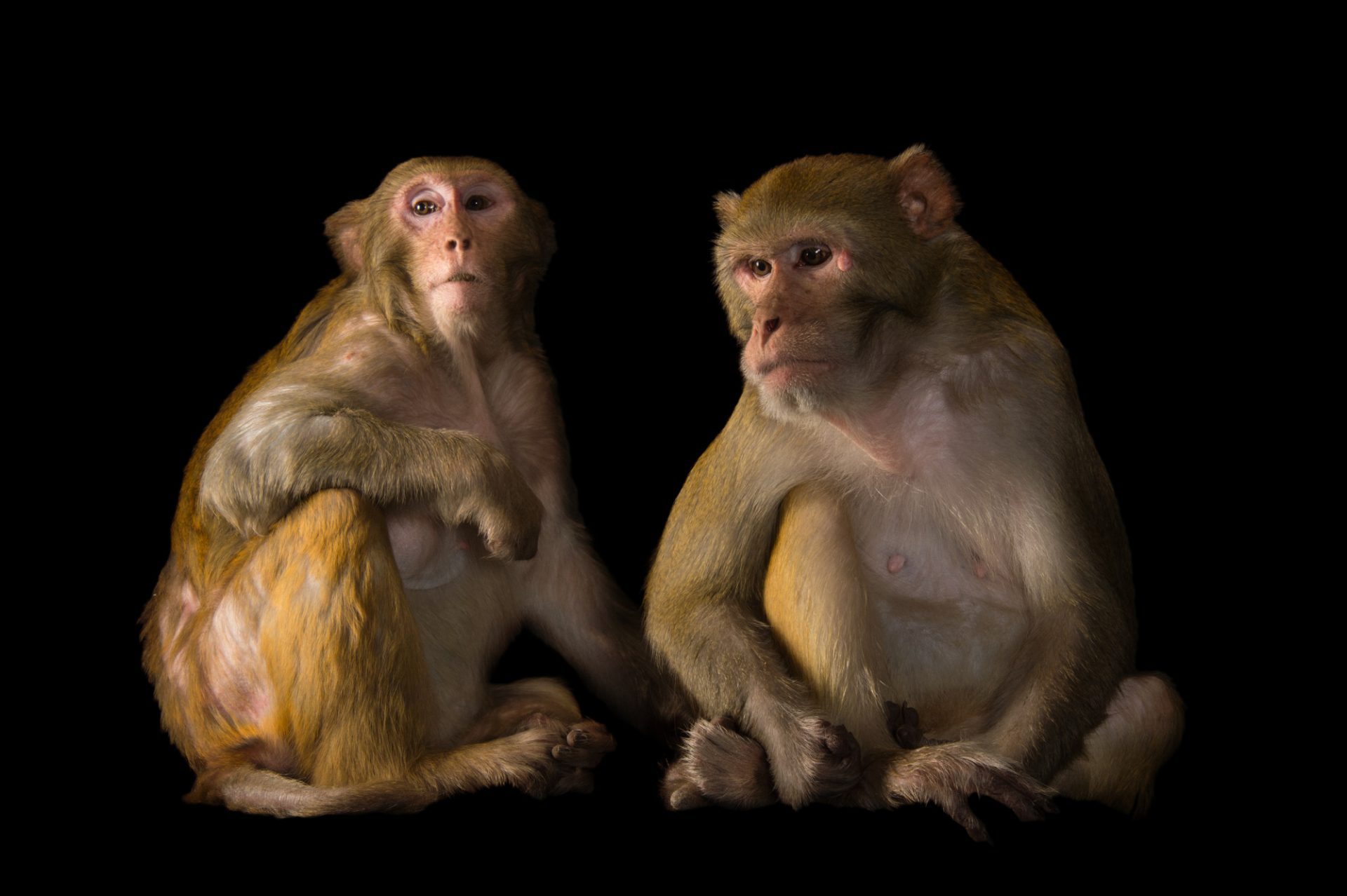 Picture of Rhesus monkeys (Macaca mulatta) at the Rolling Hills Zoo.
