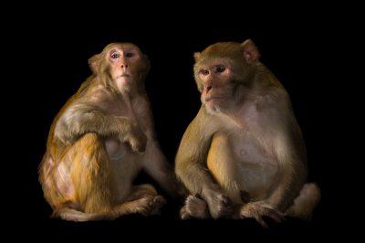 Picture of Rhesus monkeys (Macaca mulatta) at the Rolling Hills Zoo.