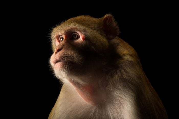 Picture of a Rhesus macaque (Macaca mulatta) at the Rolling Hills Zoo.