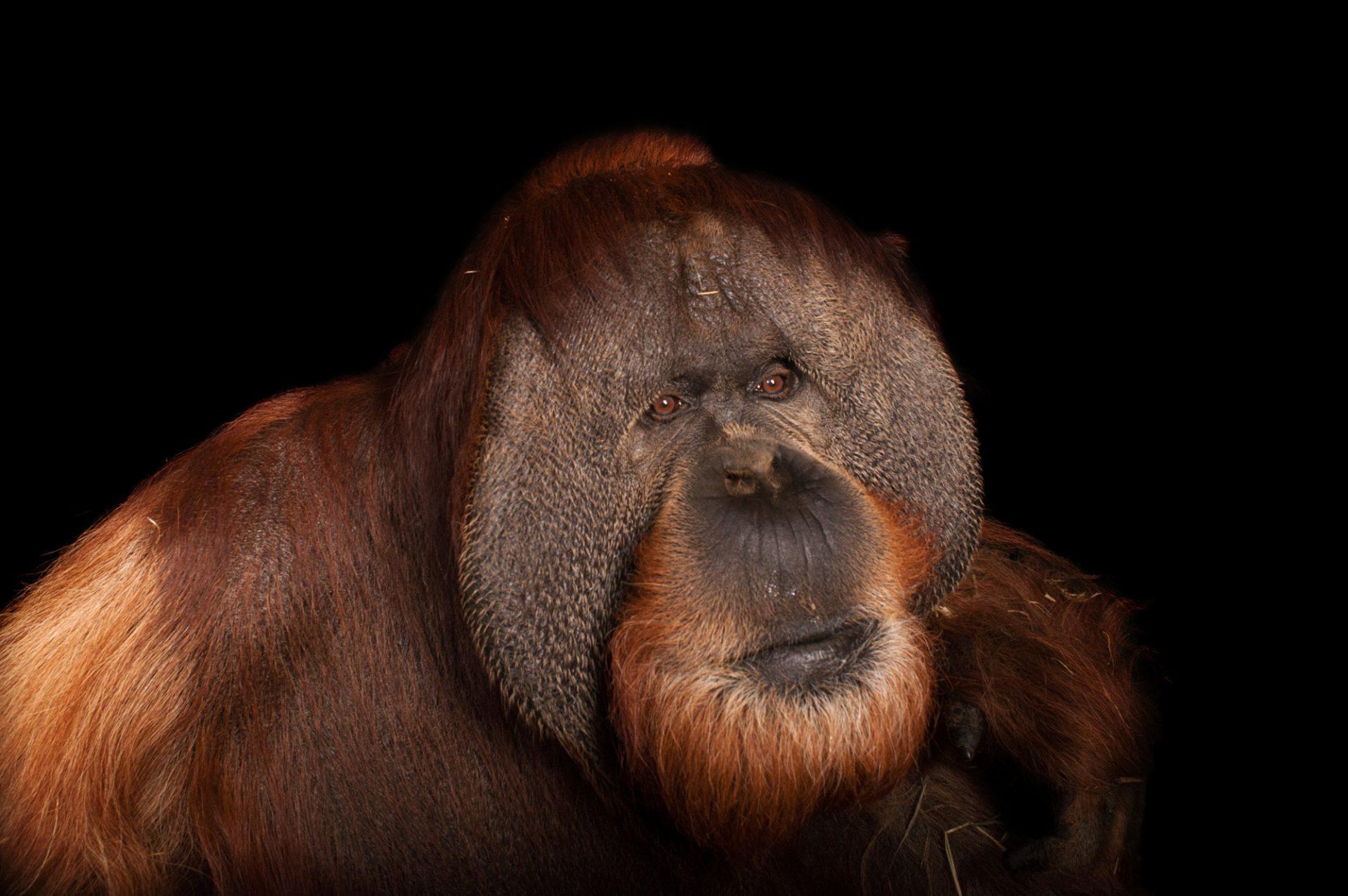 A critically endangered, male Sumatran orangutan, Pongo abelii, at Rolling Hills Wildlife Adventure.