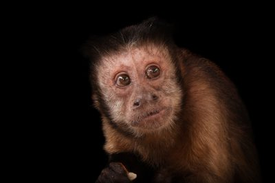 Picture of a brown tufted capuchin (Cebus apella apella) at the Rolling Hills Wildlife Adventure.