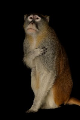 "Picture of a Patas Monkey (Erythrocebus patas) named ""Mosi"" at the Houston Zoo."