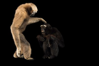 Picture of a vulnerable male and female Eastern hoolock gibbon (Hoolock leuconedys) at the Gibbon Conservation Center.