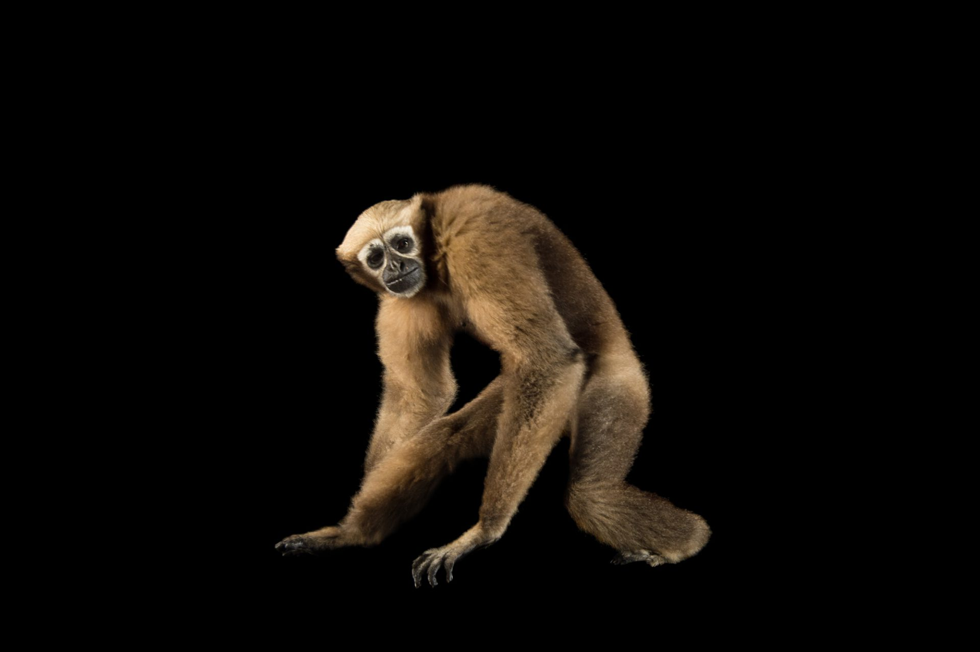 Picture of a vulnerable female Eastern hoolock gibbon (Hoolock leuconedys) at the Gibbon Conservation Center.