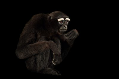 Picture of a vulnerable male Eastern hoolock gibbon (Hoolock leuconedys) at the Gibbon Conservation Center.