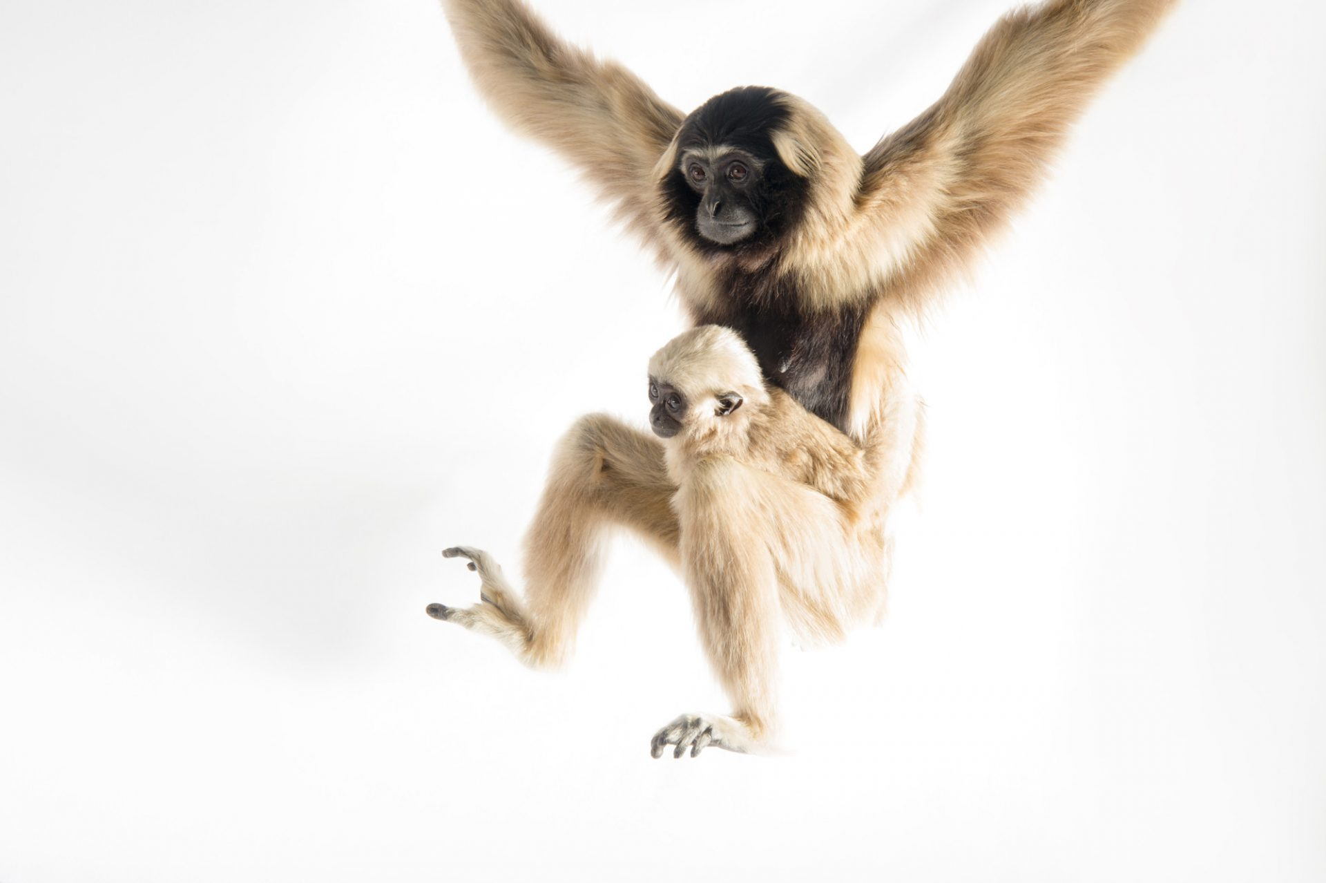 Picture of an endangered pileated gibbon with her eight-month-old infant (Hylobates pileatus) at the Gibbon Conservation Center