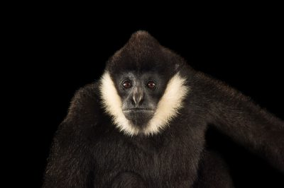 A male, critically endangered Northern white-cheeked gibbon (Nomascus leucogenys) at the Gibbon Conservation Center.