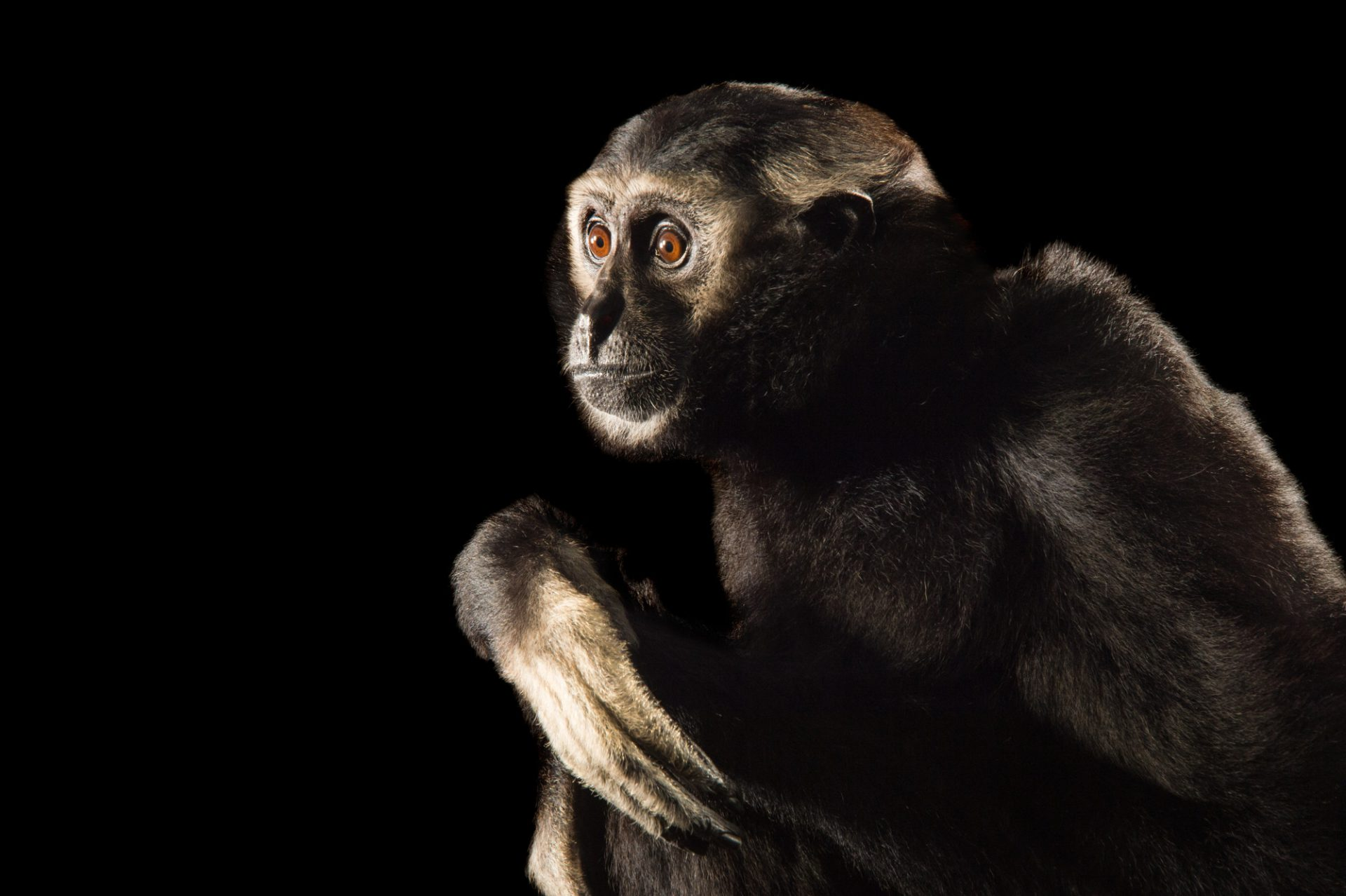 Photo of an endangered male pileated gibbon (Hylobates pileatus) at the Gibbon Conservation Center