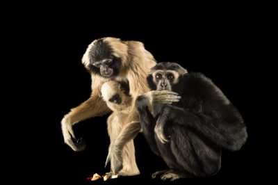 Picture of endangered pileated gibbons, including an eight-month-old infant (Hylobates pileatus) at the Gibbon Conservation Center