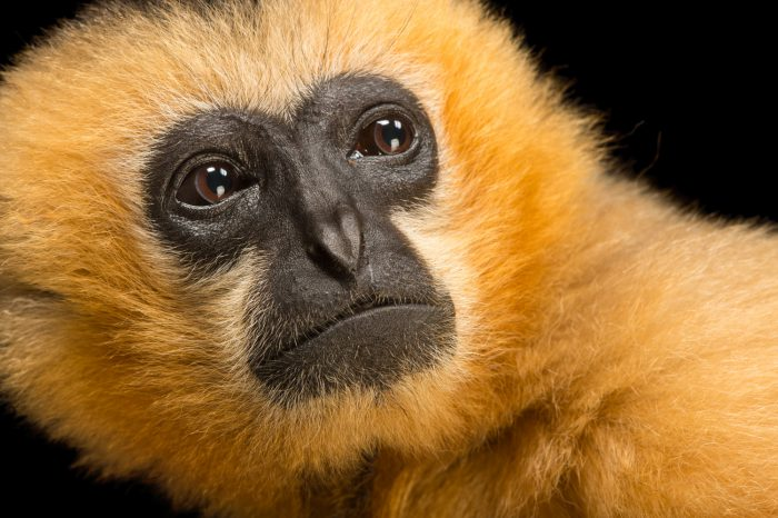 A female, critically endangered Northern white-cheeked gibbon (Nomascus leucogenys) at the Gibbon Conservation Center.