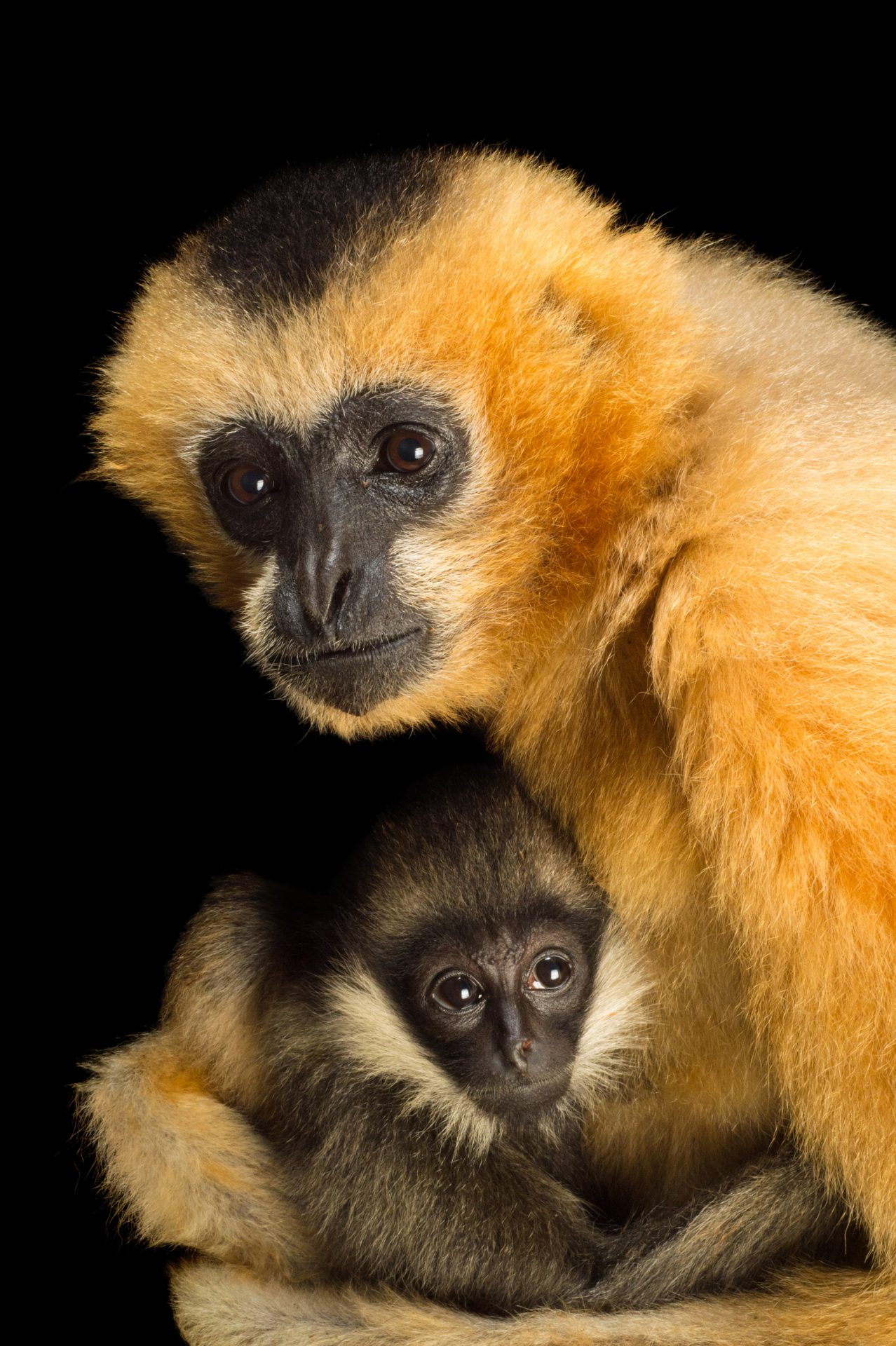 A female, critically endangered Northern white-cheeked gibbon with her year-old baby (Nomascus leucogenys) at the Gibbon Conservation Center.