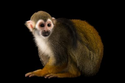 Picture of a common squirrel monkey (Saimiri sciureus sciureus) named Chili at the Santa Fe College Teaching Zoo.