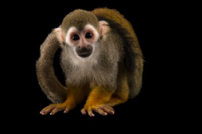 Picture of a common squirrel monkey(Saimiri sciureus sciureus) named Chili at the Santa Fe College Teaching Zoo.