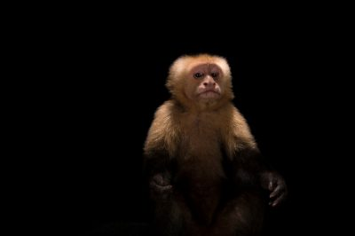 Picture of a white-throated capuchin (Cebus capucinus) named Buster at the Santa Fe College Teaching Zoo.