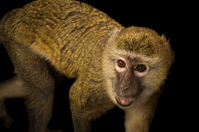 Picture of a female grivet monkey (Chlorocebus aethiops) at Parque Zoologico Nacional, the zoo in Santo Domingo, Dominican Republic.