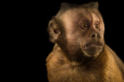 Picture of a tufted capuchin (Cebus apella) at Parque Zoologico Nacional, the zoo in Santo Domingo, Dominican Republic.
