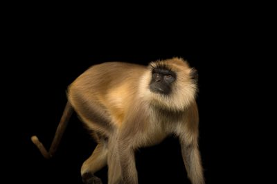 A federally endangered, female Northern plains gray langur (Semnopithecus entellus) at the Chattanooga Zoo.