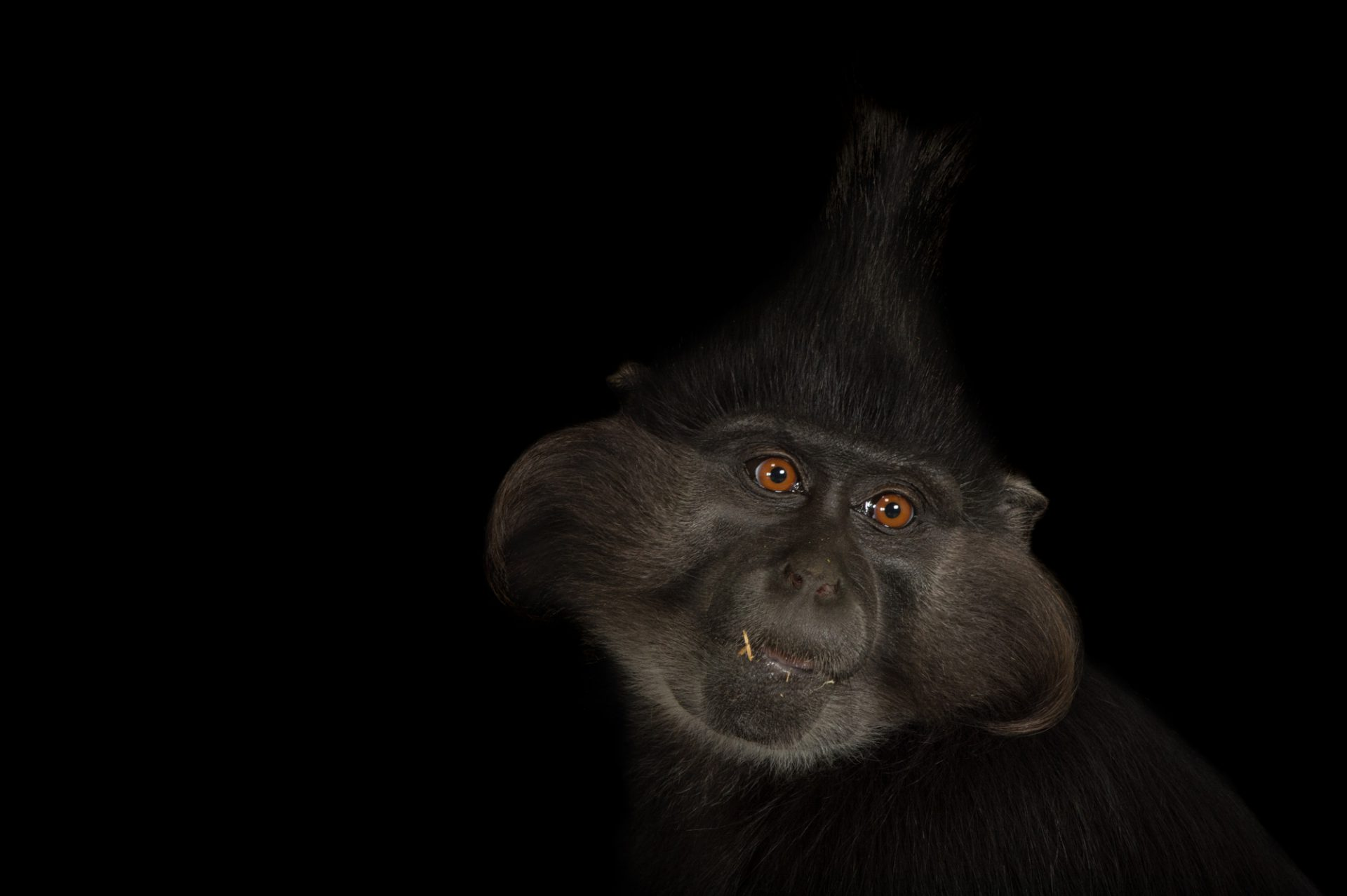 A black crested mangabey (Lophocebus aterrimus) at the Chattanooga Zoo.