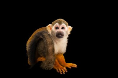 Picture of a common squirrel monkey (Saimiri sciureus) at the Lincoln Children's Zoo.