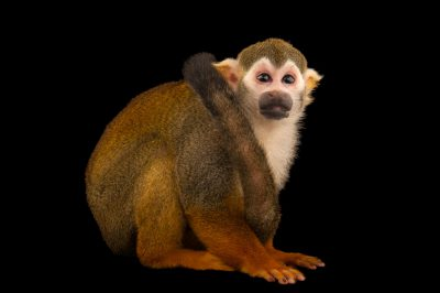 Picture of a common squirrel monkey, Saimiri sciureus, at the Lincoln Children's Zoo.