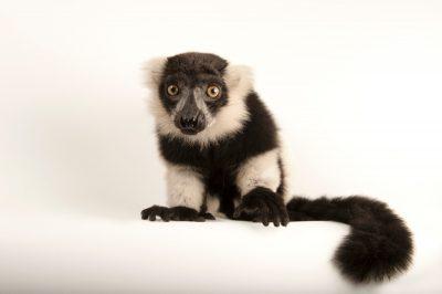 A critically endangered black and white ruffed lemur (Varecia variegata) at the Lincoln Children's Zoo.