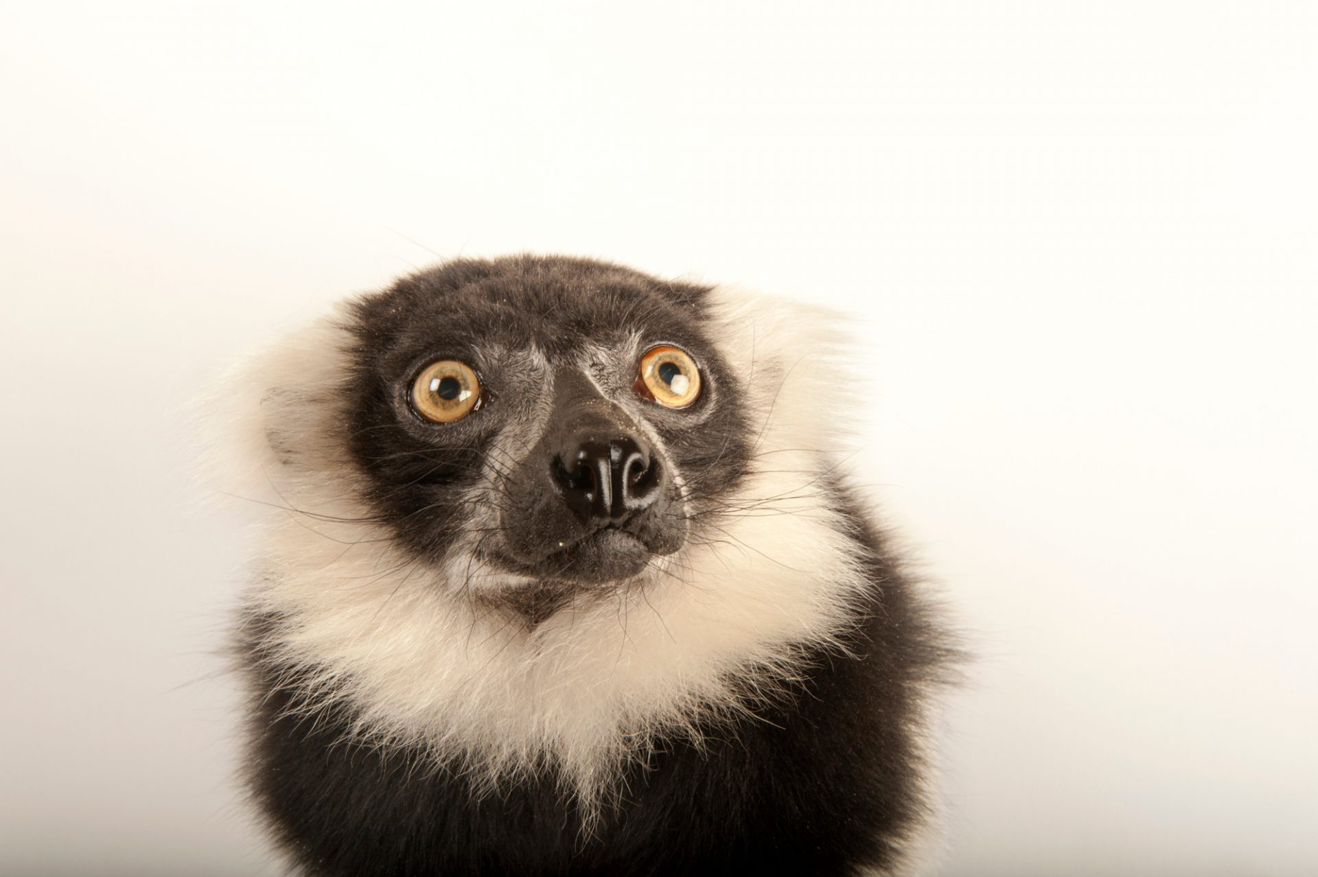 A critically endangered black and white ruffed lemur (Varecia variegata) at the Lincoln Children's Zoo.
