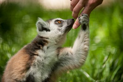 A ring-tailed lemur (Lemur catta) at the Lincoln Children's Zoo.
