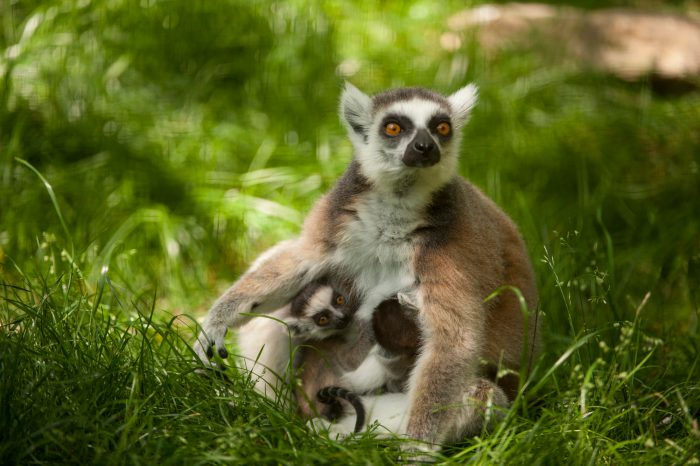 A ring-tailed lemur and her pups (Lemur catta) at the Lincoln Children's Zoo.