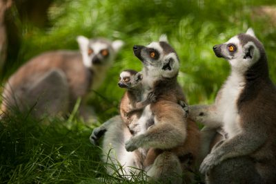 A group of ring-tailed lemurs (Lemur catta) at the Lincoln Children's Zoo.