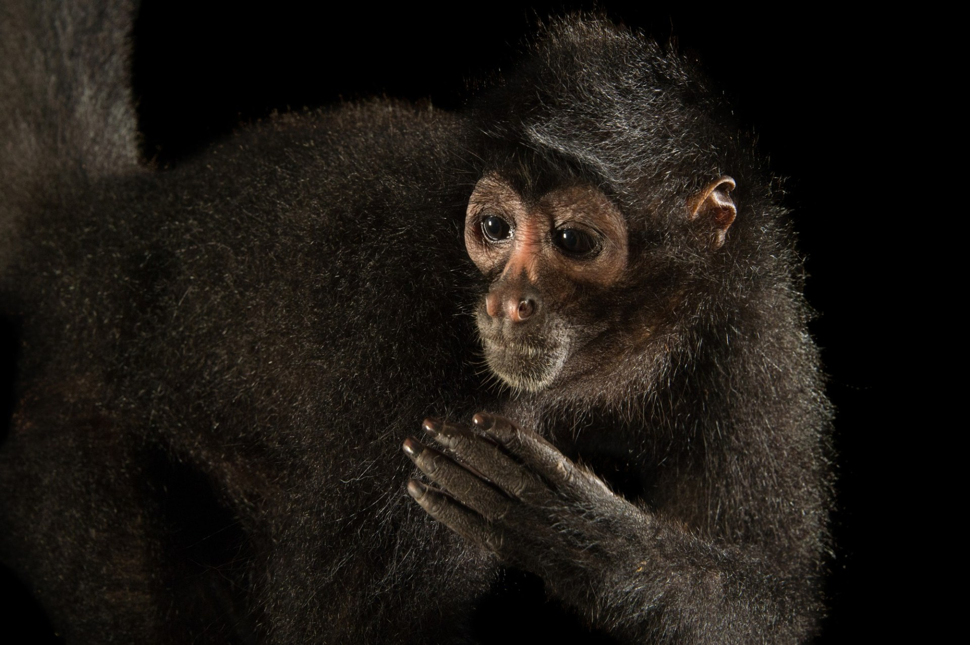 Picture of a critically endangered brown-headed spider monkey (Ateles fusciceps rufiventris) at the Summit Municipal Park in Gamboa, Panama.