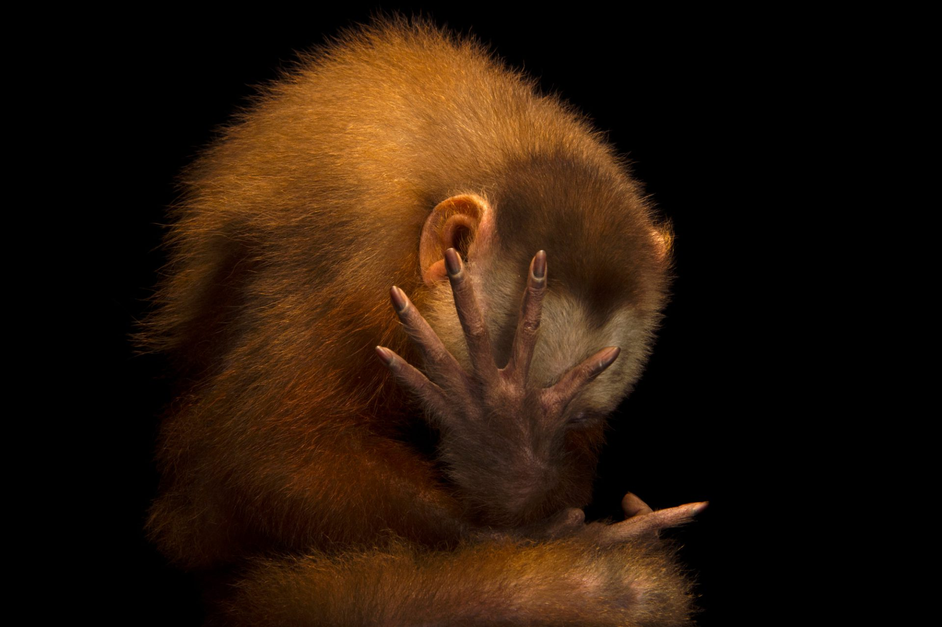 Picture of an endangered white fronted capuchin (Cebus versicolor) at the Summit Municipal Park in Gamboa, Panama.