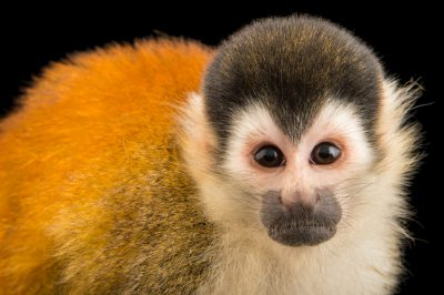 Picture of an endangered, male black-crowned Central American squirrel monkey (Saimiri oerstedii oerstedii) at the Summit Municipal Park in Gamboa, Panama.