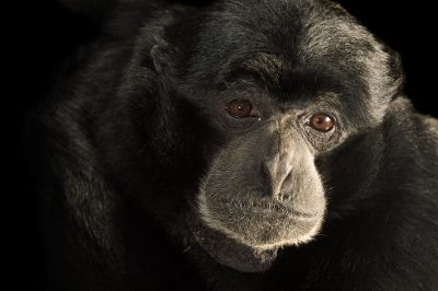 Picture of an endangered (IUCN) and federally endangered siamang (Symphalangus syndactylus) at the LA Zoo.