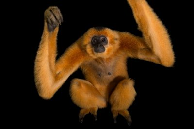 Picture of an endangered yellow-cheeked gibbon (Nomascus gabriellae) at the Endangered Primate Rescue Center in Cuc Phuong National Park, Vietnam.