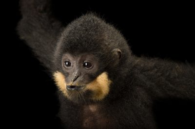 An endangered male northern yellow-cheeked gibbon (Nomascus annamensis) at the Endangered Primate Rescue Center in Cuc Phuong National Park, Vietnam. The animal's name is 'Bin'.