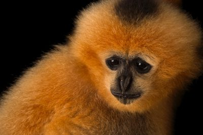 Picture of a critically endangered female northern white cheeked gibbon (Nomascus leucogenys) at the Endangered Primate Rescue Center in Cuc Phuong National Park, Vietnam.