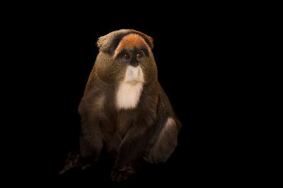 A De Brazza's monkey (Cercopithecus neglectus) at the Omaha Henry Doorly Zoo and Aquarium.