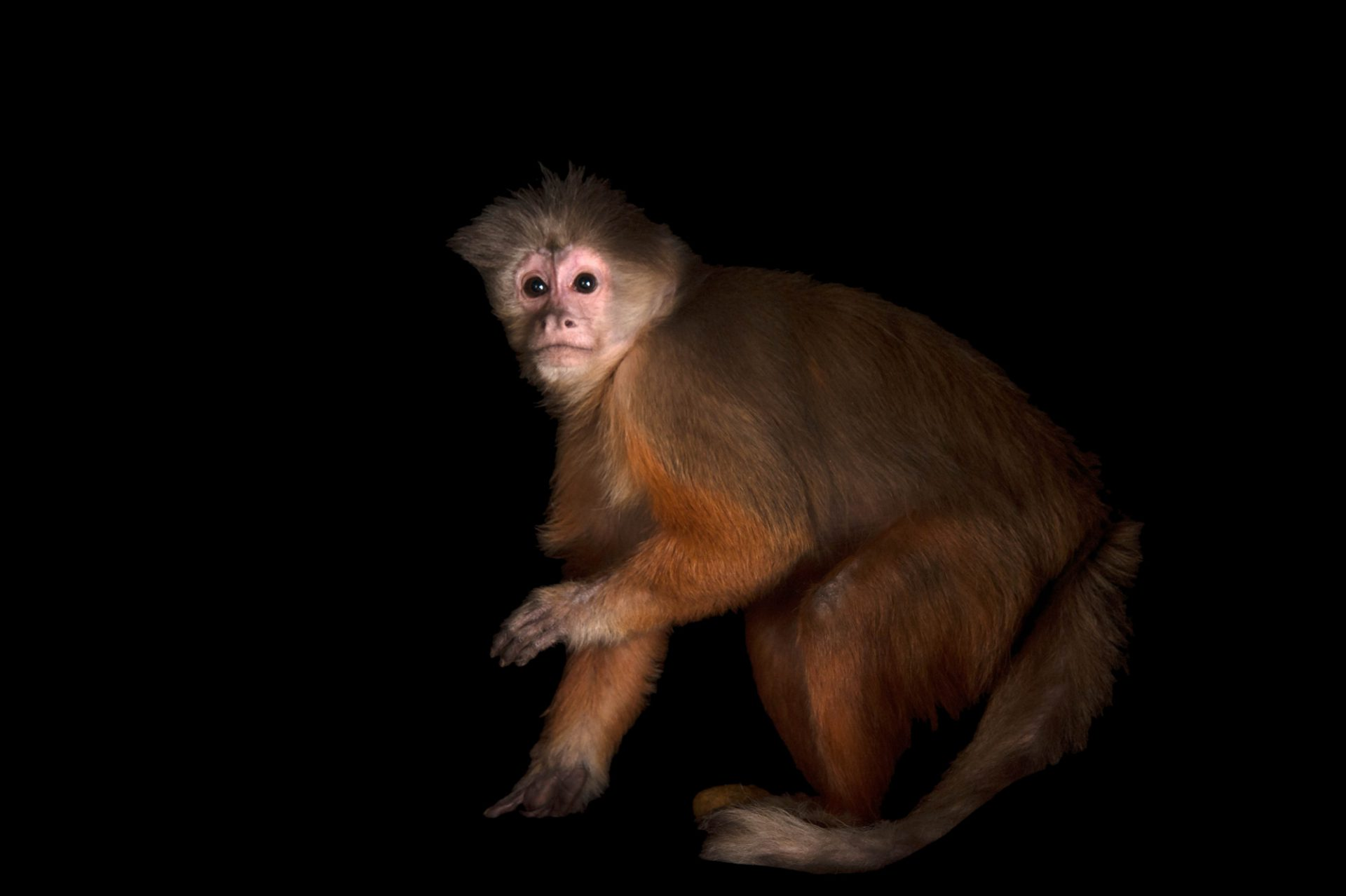 A white-fronted capuchin (Cebus albifrons) at the Omaha Henry Doorly Zoo and Aquarium.