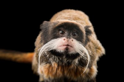Picture of a vulnerable emperor tamarin (Saguinus imperator) at the Dallas World Aquarium.