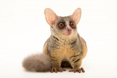 Photo: A Northern lesser galago (Galago senegalensis senegalensis) at the Plzen Zoo in the Czech Republic.