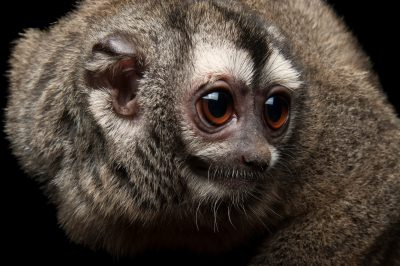 "A vulnerable grey-legged douroucouli or owl monkey (Aotus lemurinus) named ""Cheeky"" at the Houston Zoo."