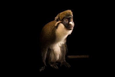 Photo: Mama, a lesser white-nosed monkey (Cercopithecus petaurista) at the Central Florida Zoo. She was born Aug. 15, 1999.