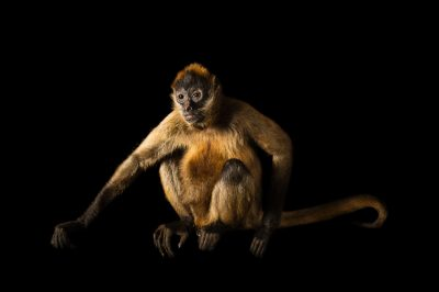 A critically endangered spider monkey named Arturo, (Ateles geoffroyi geoffroyi) at the Wellington Zoo.
