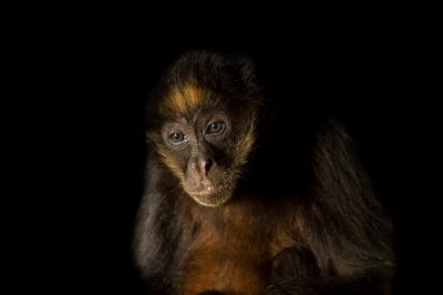 Photo: Hybrid spider monkey (Ateles belzebuth and Ateles geoffroyi) at the Wellington Zoo.