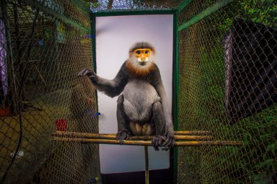 Picture of a critically endangered grey-shanked douc langur (Pygathrix cinerea) at the Endangered Primate Rescue Center in Cuc Phuong National Park, Vietnam. This animal's name is Eric.